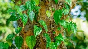 Betellaubbaum auf einem Jackfruitbaum stockfoto
