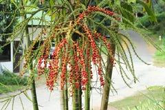 Betelpalme auf Baum stockfotos