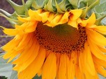 Betende Sonnenblume Stockfotografie