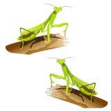 Betender Mantis Lizenzfreie Stockbilder