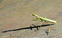 Betender Mantis Stockbilder