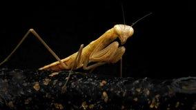 Betender Mantis Lizenzfreie Stockfotos