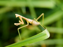 Betender Mantis auf Anlage Lizenzfreie Stockbilder