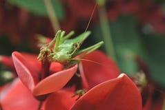 Betender Mantis auf einer Blume Stockfotos