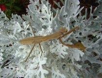 Betender Mantis im Garten während des Sommers Stockfotografie