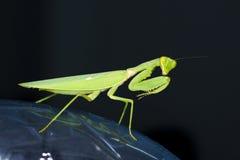 Betender Mantis mit schwarzem Hintergrund Lizenzfreie Stockbilder