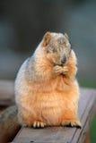 Betendes Eichhörnchen Stockfoto