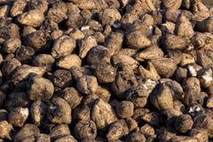 Beterraba - colheita Imagem de Stock Royalty Free