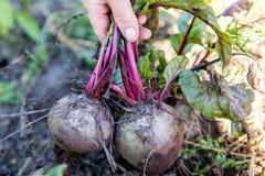 Beterraba da colheita no outono Imagem de Stock Royalty Free