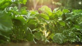 Beterraba da irrigação de gotejamento no jardim vegetal filme