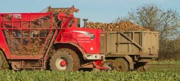 Beterraba de colheita e de levantamento no campo Imagens de Stock Royalty Free