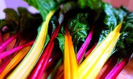 Beterraba de forragem colhida fresca colorida do jardim Fotografia de Stock