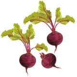 Beterraba vegetal isolada no fundo branco Imagens de Stock Royalty Free