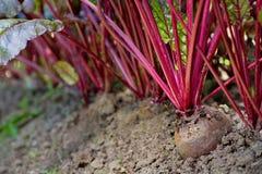 Beterrabas crescentes em um jardim vegetal Fotografia de Stock Royalty Free