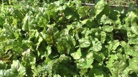 Beterrabas e alface verde no jardim filme