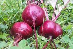 Beterrabas vermelhas na grama Imagem de Stock