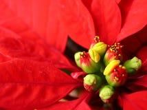bethlehem blommastjärna Arkivbilder