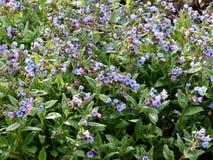 The herb Pulmonaria saccharata flowering Royalty Free Stock Images