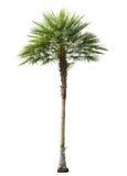 Betlu drzewko palmowe ciący out odizolowywającym Obraz Royalty Free