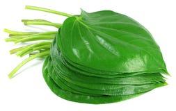 Betlu jadalny liść zdjęcie stock