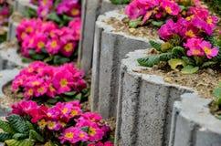 Primula-Blumenbeet Stockfotos