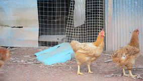 Betong chicken farm by farmers in the three southernmost provinces of Thailand stock video