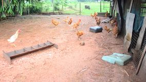 Betong chicken farm by farmers in the three southernmost provinces of Thailand stock video footage