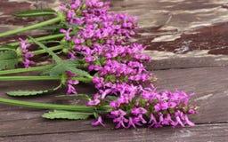 Betonica officinalis, gemensam namnbetony, purpurfärgad betony, gemensam hedgenettle - blomningväxt som isoleras på wood bakgrund arkivfoton