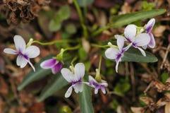 Betonicifolia de la viola Fotografía de archivo libre de regalías