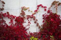 Betonmauer bedeckt im Efeu mit roten Blättern lizenzfreie stockbilder