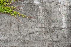 Betonmauer mit grünem Efeu - Hintergrund Lizenzfreies Stockbild