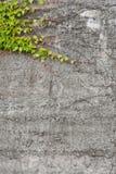 Betonmauer mit grünem Efeu - Hintergrund Lizenzfreies Stockfoto
