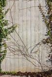 betonowa ściana z bluszcz zielenią na pogodnym Grudnia nastania dniu fotografia royalty free