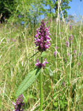 Betony (Betonica officinalis eller Stachysofficinalis) Royaltyfria Foton