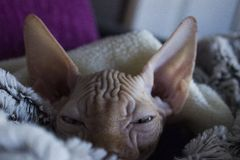 Betosa. Sphynx cat animal Royalty Free Stock Photography