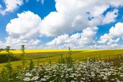 Beträchtliche Felder von Gänseblümchen und von blühendem Senf in Russland Stockfoto