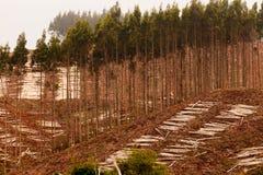 Beträchtlicher eindeutiger Eukalyptuswald für Holzernte lizenzfreie stockfotos