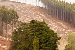 Beträchtlicher scharf geschnittener Eukalyptuswald für Bauholzernte stockfotografie