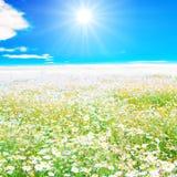 Beträchtliches Feld sunlit und Weiß mit Gänseblümchen Lizenzfreie Stockfotografie