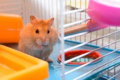 Beträffande gå för hamster 'att dricka Arkivfoto