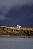 Betrachten eines Eisbären lizenzfreie stockfotos