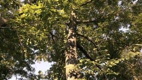 Betrachten Sie die Baumunterseite stock video footage