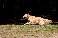 Betrieb des goldenen Apportierhunds Lizenzfreie Stockfotos