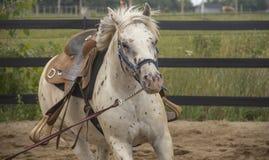 Betrieb des weißen Pferds Lizenzfreies Stockbild