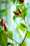 Betriebs- rote und grüne Pfeffer Cayennepfeffer-(spanischer Pfeffer). stockfotos