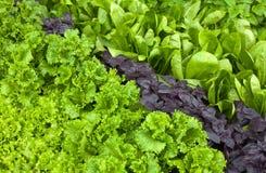 Betriebshintergrund - Salat, Basilikum, Spinat Stockfoto