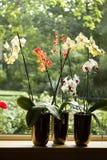 Betriebspotentiometer mit Motten-Orchideen im Fenster Lizenzfreie Stockfotos