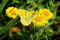 Betrokken Gele Vlinder - Colias Croceus Royalty-vrije Stock Afbeeldingen