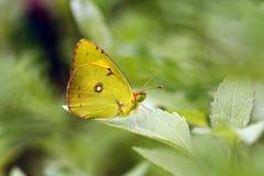 Betrokken Gele Vlinder op het blad Stock Foto's