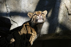 Betrokken Luipaard Stock Foto's